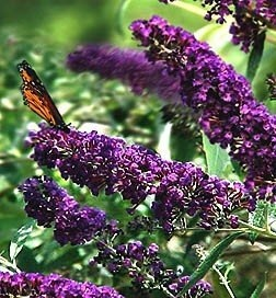 Buddleia Black Knight Butterfly Bush for birds and bees garden