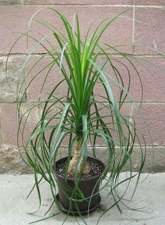 In recent years the ponytail palm tree has become a popular houseplant, and it is easy to see why. Ponytail palm is forgiving and easy in its care. Learn more in this article.
