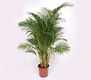 Descopera plantele: Tulpina