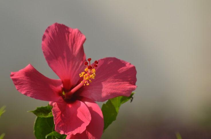 Hibiscus by Renie A. Priyanto - Flowers Single Flower ( hibiscus, single flower, hibiscus flowers, flowers, flower )