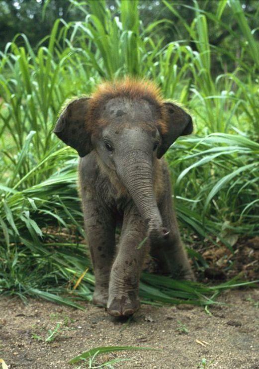 Oh my gosh! Little fuzzy-top baby Asian elephant - william albert allard