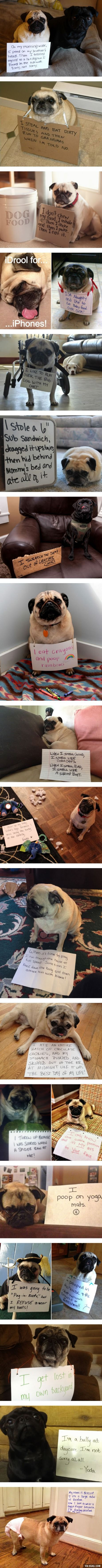 """Pug Shaming... Some of these are hilarious... The """"I only know one position"""" thing must be a pug trait."""