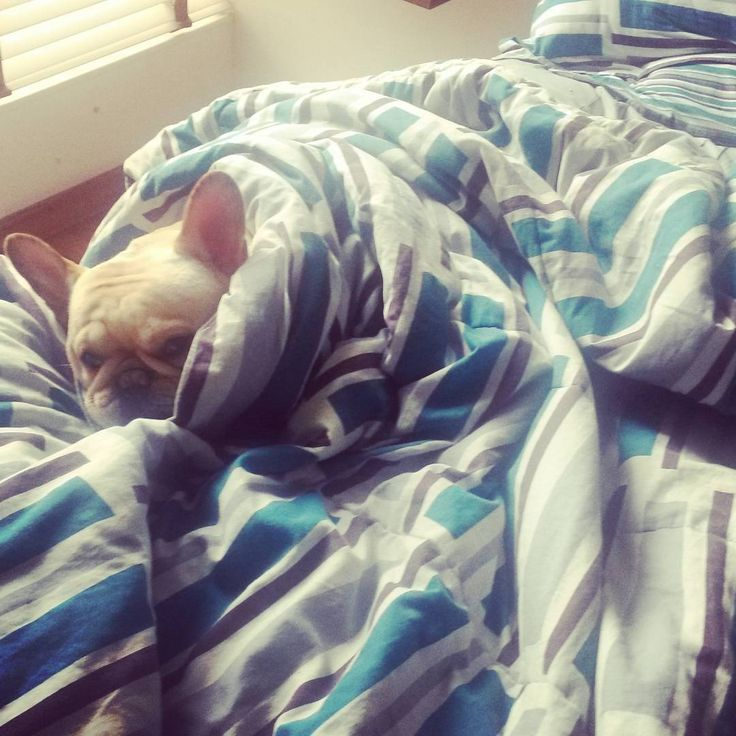Abrigadita en mi cama queen. #frenchbulldog #frenchie #cute #house #sweetdreams #sweethome #french #doglover #frenchiesofinstagram #frenchielove @americanadecolchones #cold @jjhonjaimes very cold Dad!