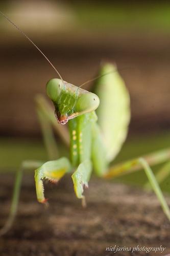 a portrait of a praying mantis