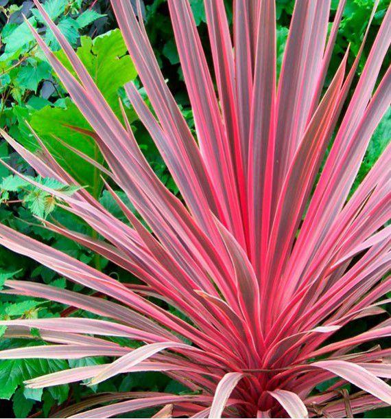 Fleurs En Ligne Jacques Briant Cordyline Pink Fire Arbres