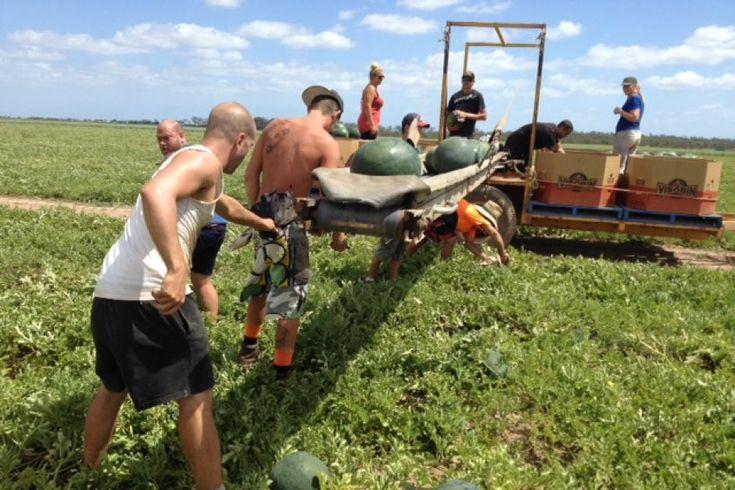 Watermelon picking