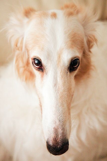 Borzoi/Russian Wolfhound. That is a gorgeous dog.