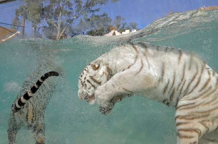 » Белые тигры (10) Это интересно!