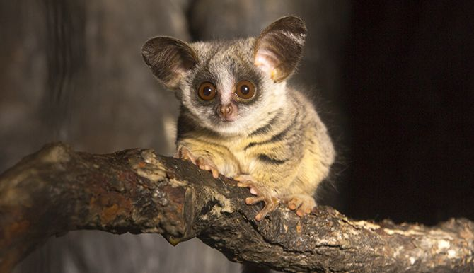 Lincoln Park Zoo. A baby Moholi bushbaby at Regenstein ...