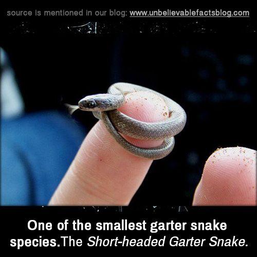 One of the smallest garter snake species. The Short-headed Garter Snake.