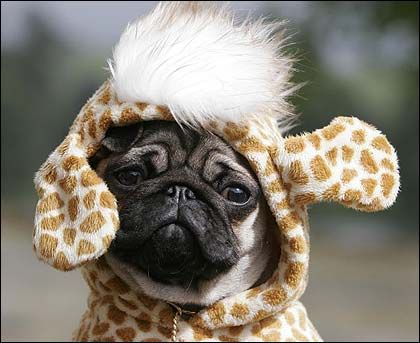 Giraffepug