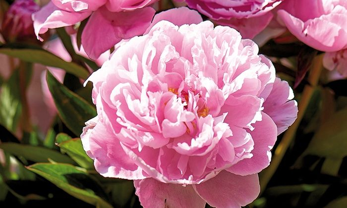 Peony Roots (3, 5, or 6-Pack): Peony Roots (3, 5, or 6-Pack)