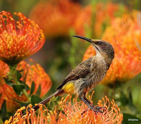 Cape sugarbird in the Helderberg Nature Reserve