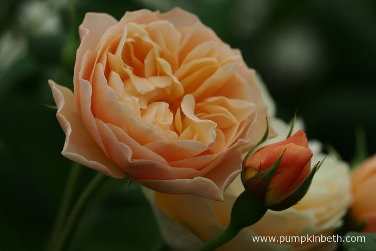 Rosa ROALD DAHL ('Ausowlish') has a delicious tea rose fragrance, with a delicious fruity character to its perfume.
