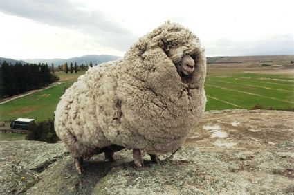 There was a sheep in New Zealand who, by hiding in caves, successfully avoided being shorn for 6 consecutive years. When he was finally caught in 2004, his fleece weighed 60 lbs and contained enough wool to make suits for 20 men. He was shorn on national television and became a national icon, even meeting the NZ prime minister. I can't look at these photos without laughing. What a champ!