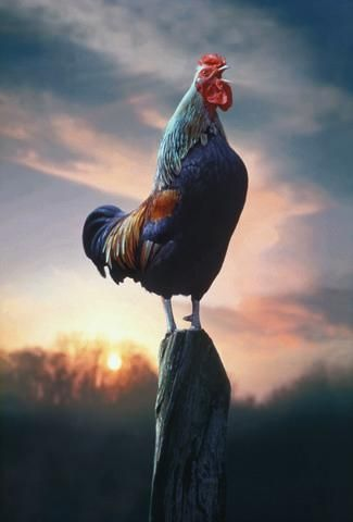 Rooster Crowing at Dawn : Custom Wall Decals, Wall Decal Art, and Wall Decal Murals | WallMonkeys.com