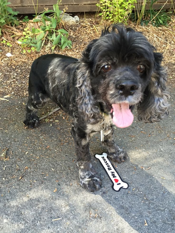 He is an amazing boy from Angels Under Our Wings Cocker Spaniel Rescue!