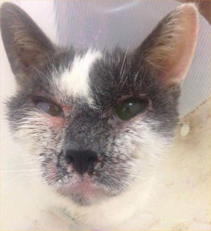 Mitaine est une minette d'environ 8 ans trouvée errante par l'une de nos bénévoles. Elle souffre d'une énorme dermatite sur le visage et les pattes, requérant des soins intensifs et est atteinte d'une malformation de la paupière nécessitant une opération.