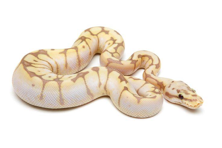 Banana Killer Bee Ball Python - CaptiveBred Reptile Forums ...