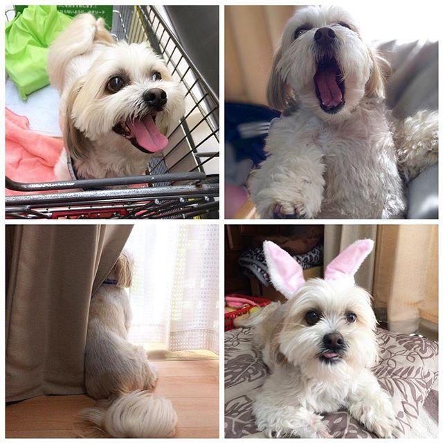 こんにちは😃 ・ ・ 随分前に頂いてたバトンです❣️ ・ 可愛いくて大好きなココちゃんのママ(@maru.chi.co.3 )さんから #2017自分が選ぶ今年上半期の4枚 #上半期自分が選ぶベスト4枚 ・ ママ〜いつもありがとう😊 遅くなってごめんね🙏 ・ 悩みに悩んでこの4枚に✨ ・ ・ バトンは遅くなってしまったのでここに置いておきます ・ ・ #犬#愛犬#シーズー#マルチーズ#ミックス犬#わんこ#いぬバカ部#shitzu#maltese#shitzusofInstagram#malteseofInstagram#mydogiscutest#ilovemydog#dogsofInstagram#doglover#doglife#instadog#instagood#love#lovedogs#cutedog#follow#pawsforjolie#❤️迷子犬の掲示板応援団#病気のお友達に元気玉