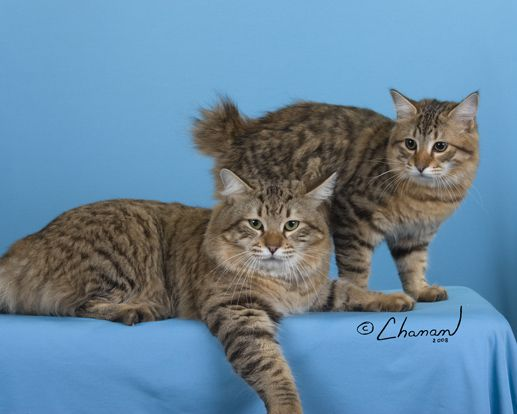 American bobtail breeders south africa
