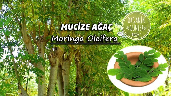 Yaşlanma Karşıtı Moringa Oleifera Ağacı