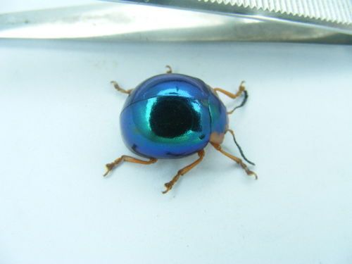 Extremely-Rare-Chrysomelidae-4