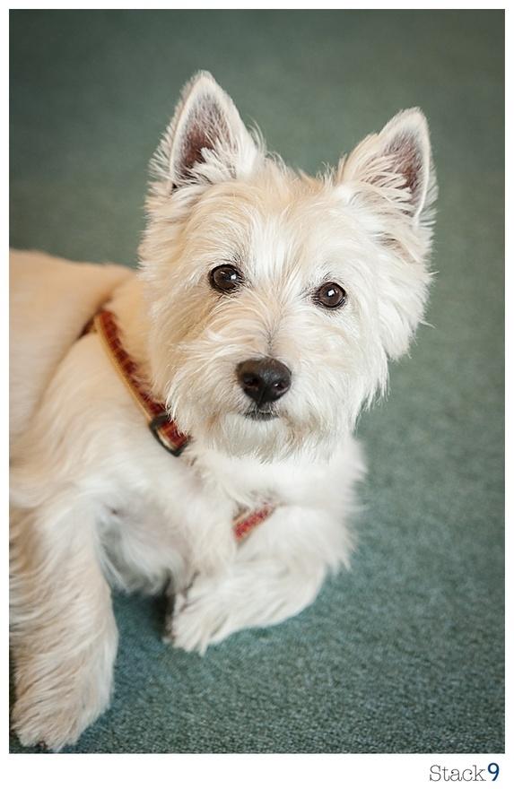 West Highland Terrier, aka: Westie westies-joy-on-all-four
