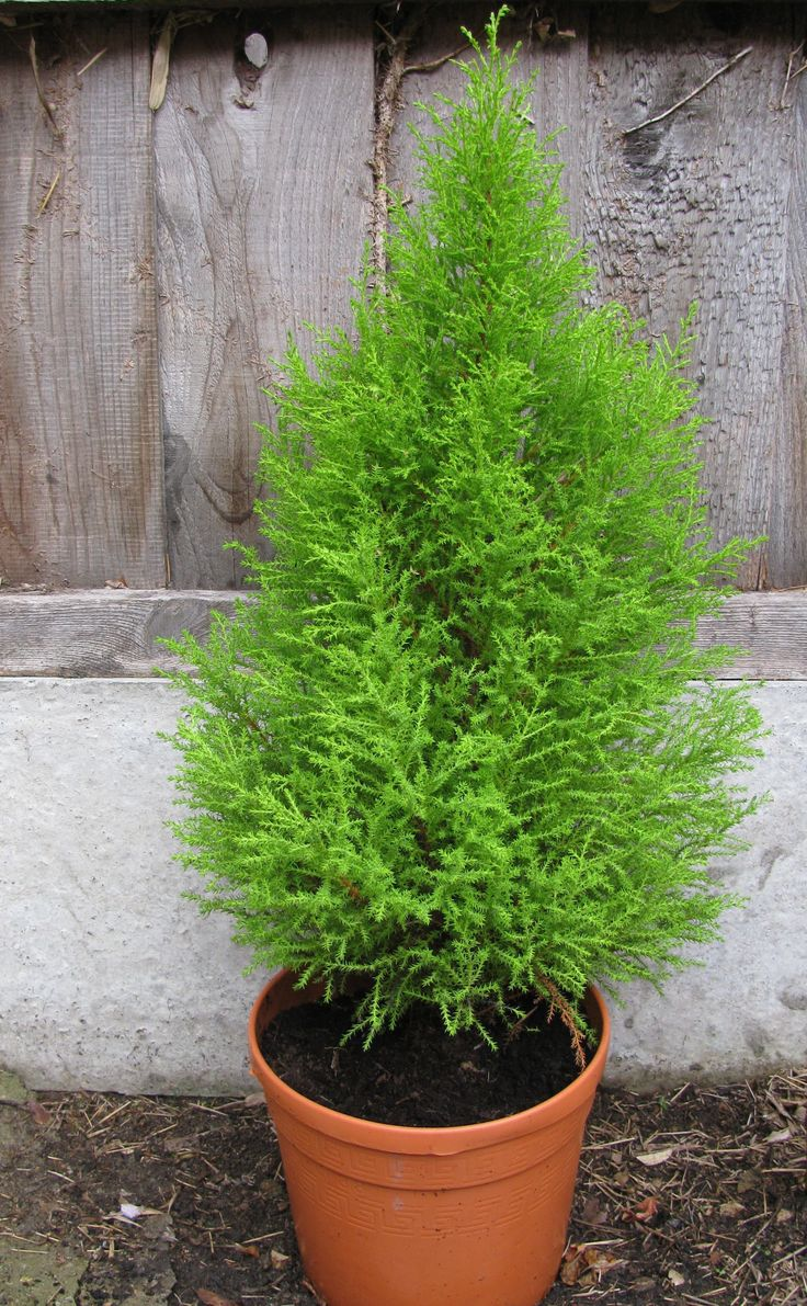 Lemon Cypress Tree Care Potted Trees Cypress Trees
