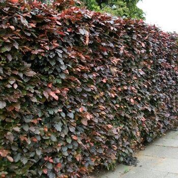 blutbuche hecke fagus sylvatica purpurea beplanting tuin pinterest hecken immergr n und. Black Bedroom Furniture Sets. Home Design Ideas