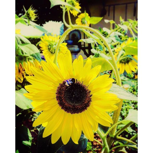 Today my garden is painted in yellow....with a bee 🐝  #mygarden#garden#giardino#girasole#sunflower#bee#summer#summertime#estate#instagram#picoftheday#igers#igersitalia#ig_italia#ig_emiliaromagna#vsco#vscocam#vscoitaly#instaitalia#instaflower#follow4follow#natgeo#nature#naturelovers#naturalbeauty#yellow Natural Beauty from BEAUT.E
