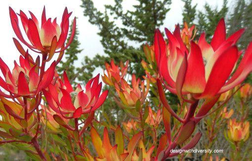 Leucadendron Salignum closer 1