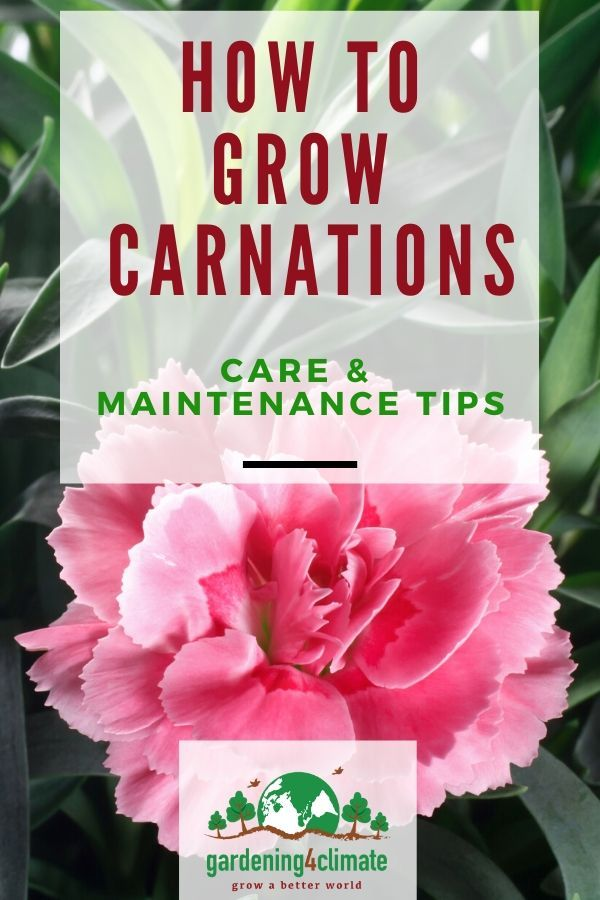 Carnation Cuttings Planted In Pots Growing Carnation From Flower Stem Cuttings Plants Plant Cuttings Growing Carnations