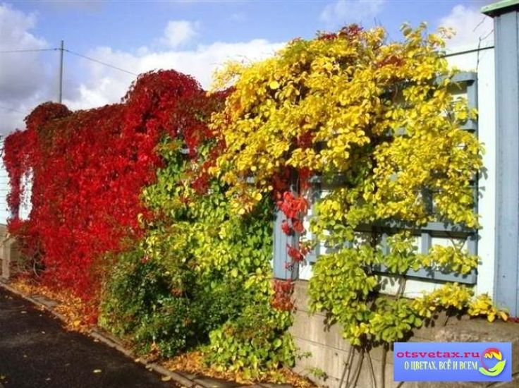 вьющиеся растения для забора быстрорастущие многолетники фото