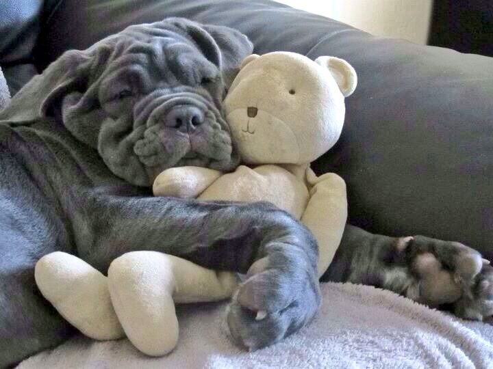Neopolitan Mastiff hugging a teddy bear.