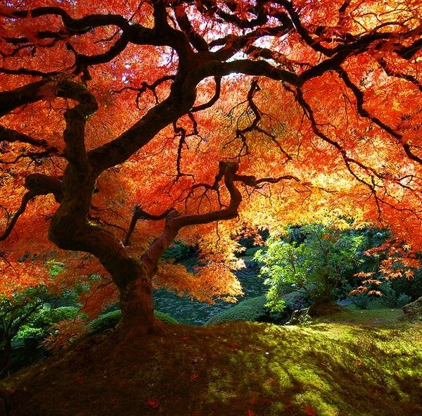 : Japanese Maple Trees, Favorite Places, Nature, Color, Beautiful, Japanese Gardens, Beauty, Photo