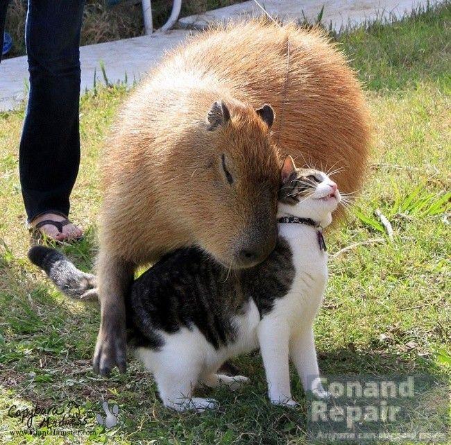 Capybaras - The rules of life capybaras