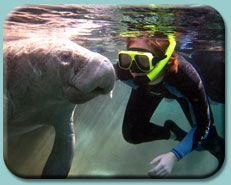 Snorkel With Manatees, River Ventures, Crystal River, Florida. Mid-December is apparently the best time to visit