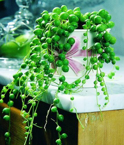 Sukkulenten eignen sich als Deko wie kaum eine andere Pflanze, nicht nur wegen ihrer Form. Sukkulenten brauchen kaum Pflege, lassen sich gut vermehren und...
