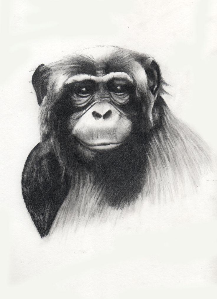 Chimpancé, dibujo, drawing