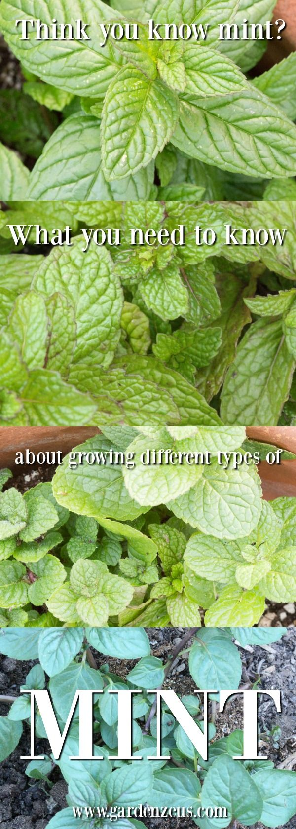 What to know about growing different types of mint #gardening #mint