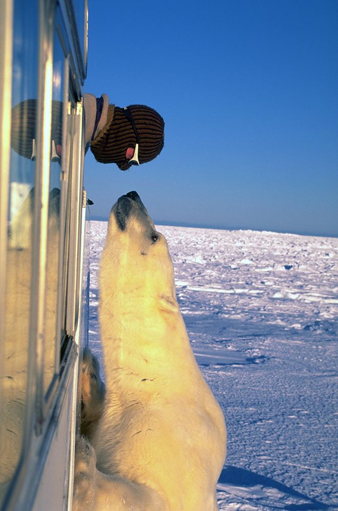 Guy tempting fate with a polar bear