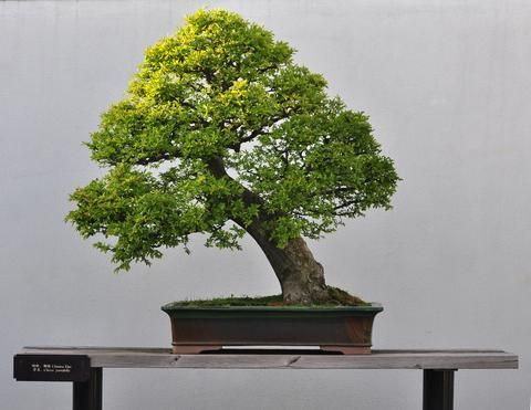 Chinese Elm Bonsai Care   Since This Bonsai has a nice, predictable growth pattern, and heals ...