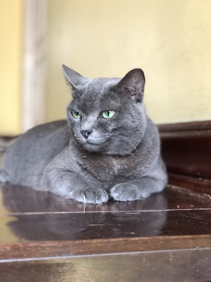 Pin By Onlyforyoucloset On Cat Russian Blue Cat Russian Blue Blue Cats