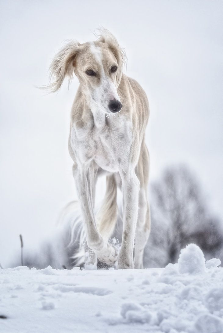 Saluki - Not a greyhound but this cousin is so lovely I had to pin it!