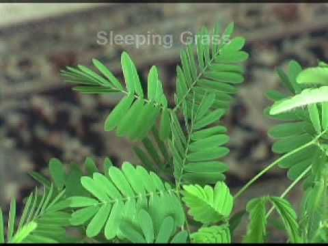 Demonstration of the touch sensitive plants reactions to being touched, bumped…