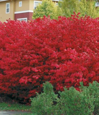 Schnell Wachsende Büsche : euyonimus compact 39 burning bush 39 spindelstrauch 3 pflanzen schnell wachsende ~ A.2002-acura-tl-radio.info Haus und Dekorationen