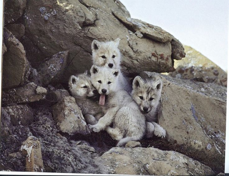 adorable wolf pups                                                                                                                                                      More
