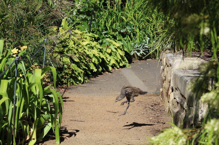L1M1AP3 - Composition and Balance: Native bird life, Tasmania. F/7.1, Exp.1/320, ISO 100 (Auto), Focal Length 75mm, Handheld.