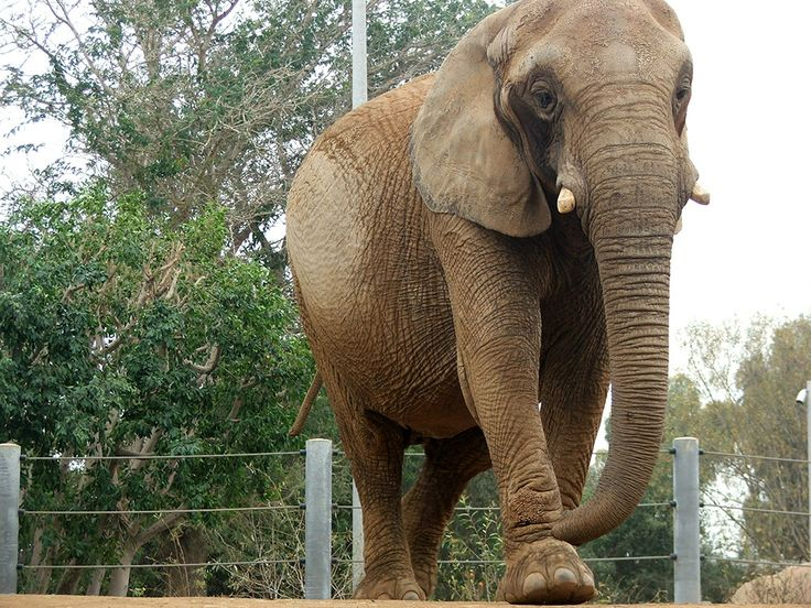 Слониха, прибывшая в зоопарк Сан-Диего, впервые за 30 лет общается с другими слонами - http://zoovestnik.ru/2014/03/16892/